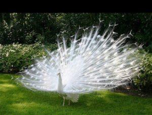 albino-peacock